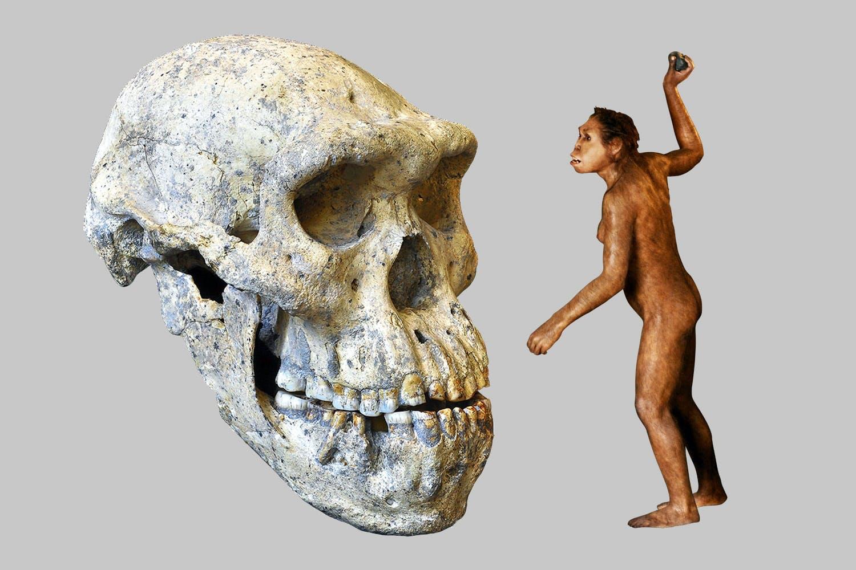 human skull three species
