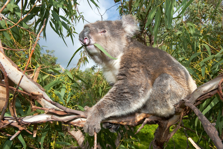 lazy koala