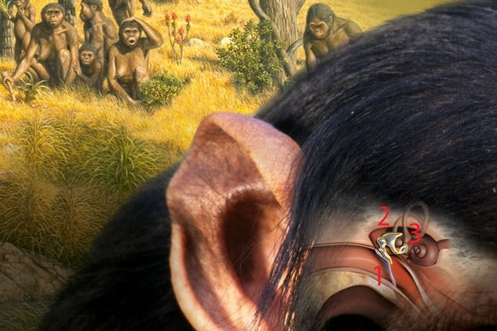 monkey ear bones
