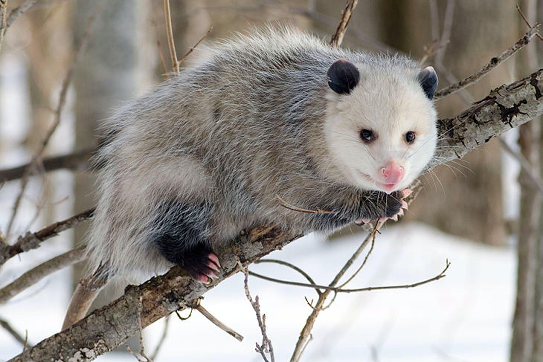 opossum animal myths