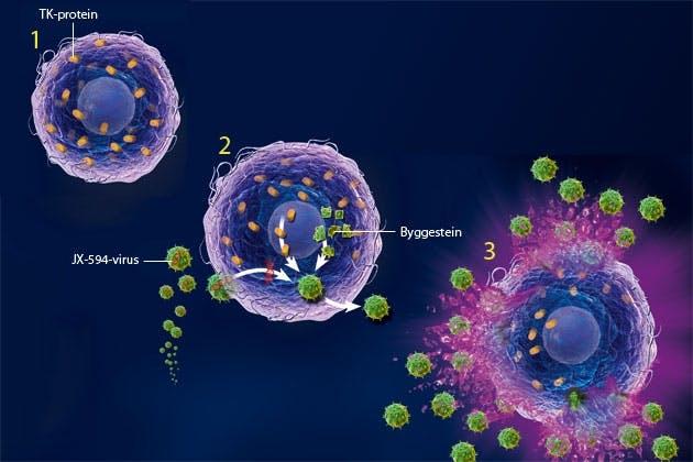 Virus attacks cancer cells