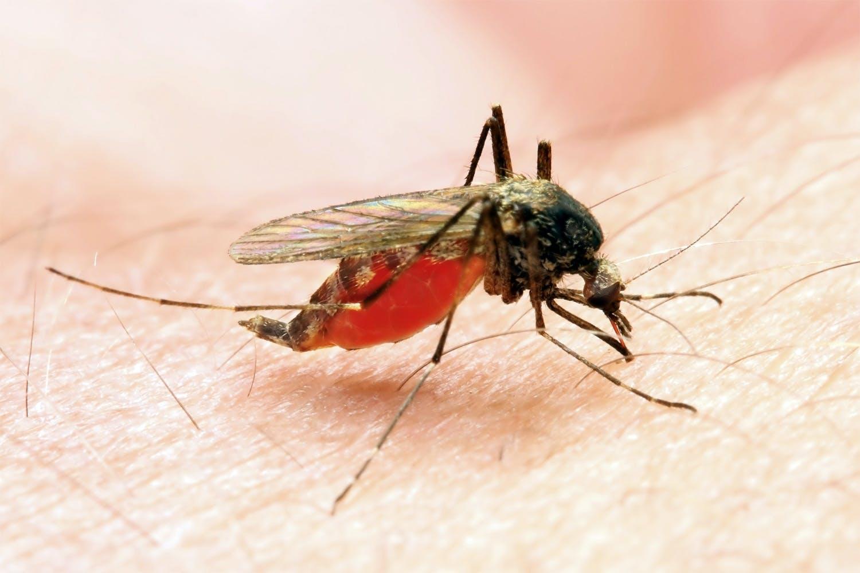 Mosquito stinging