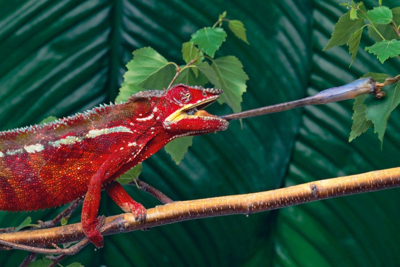 Panter Chameleon