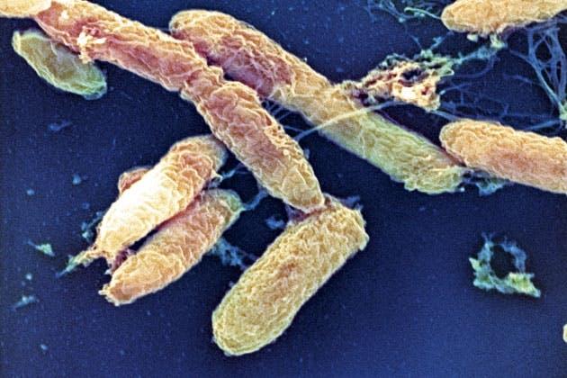 Yersinia pestis bacteria