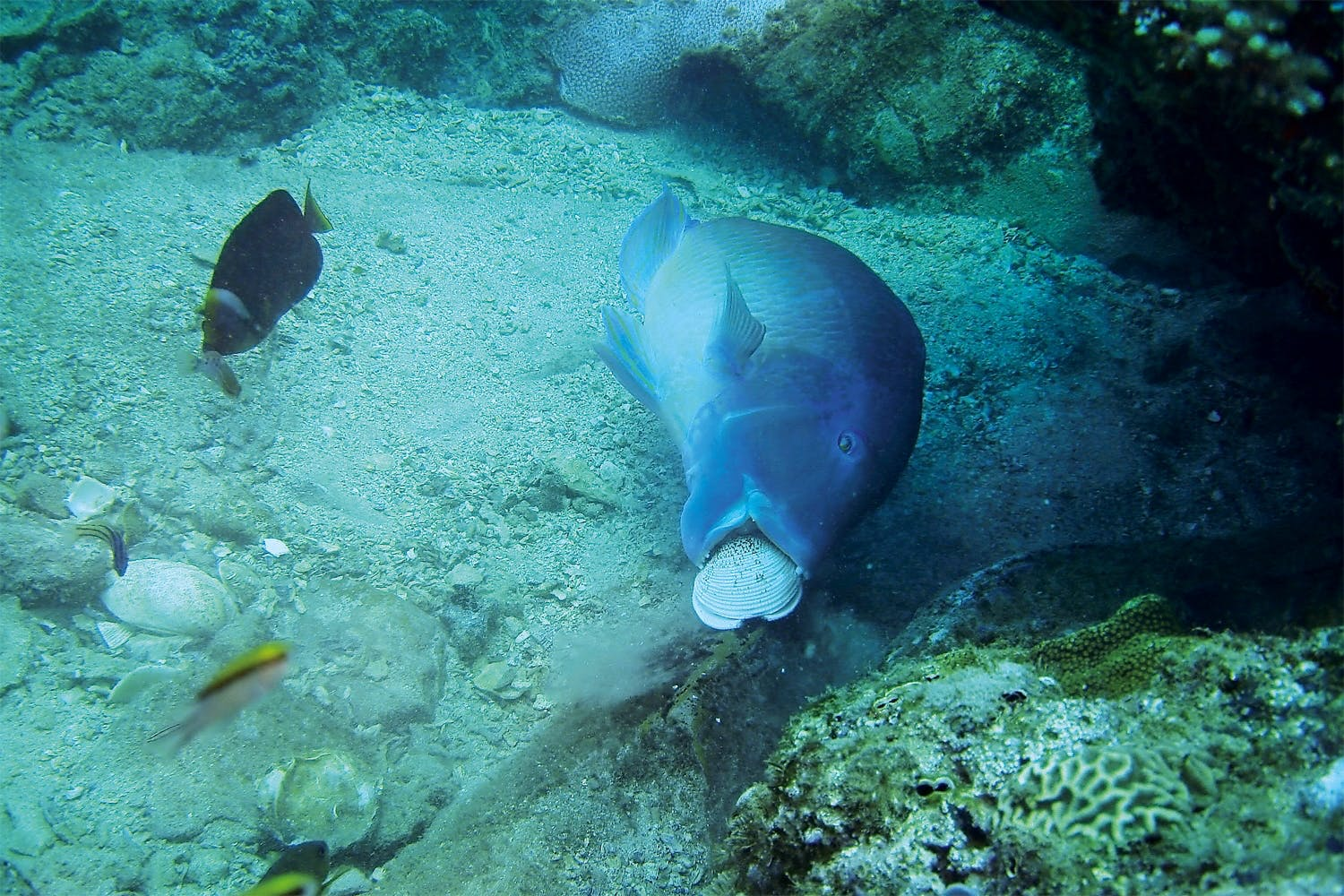Wrasse using stone to open clam