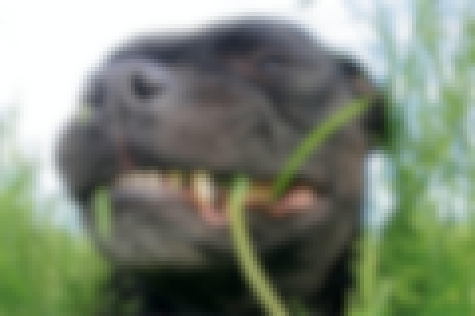 Hund som äter gräs