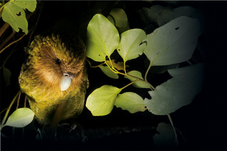 verdens største papegøje