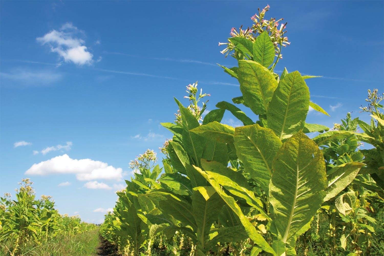 Tobacco plants
