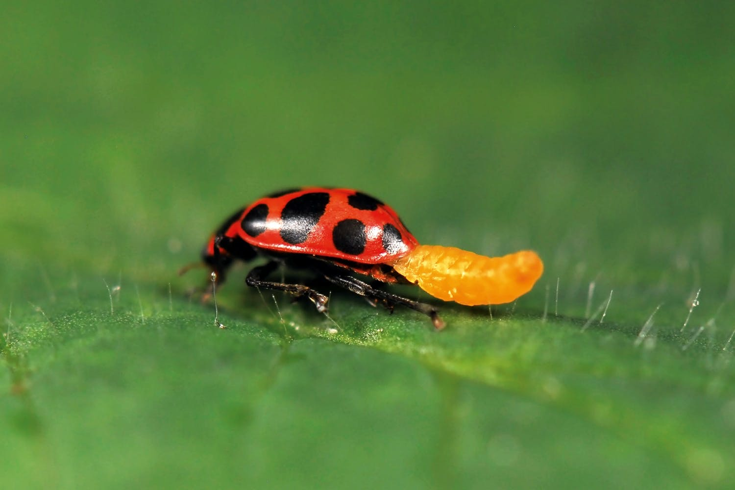 Ladybird infected by larvae