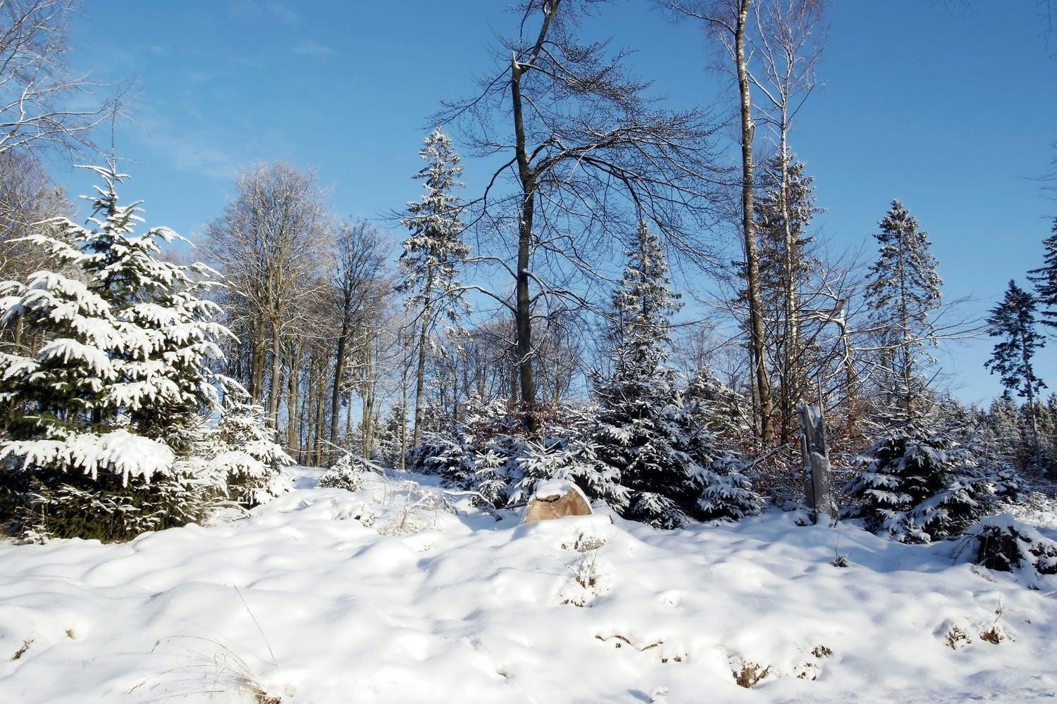 snowcovered trees