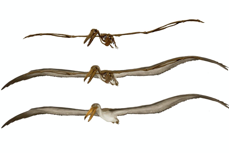 Pelagornis chilensis