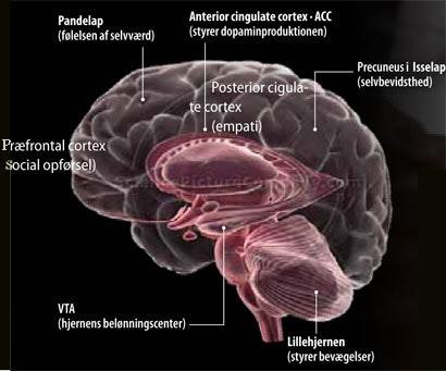 adhd hjernen