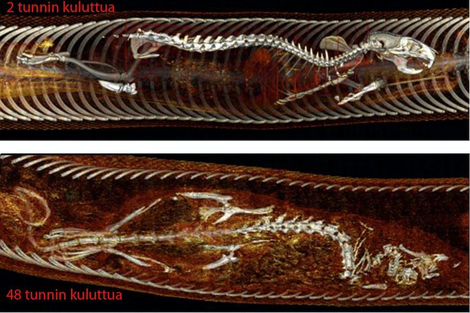 X-ray of python