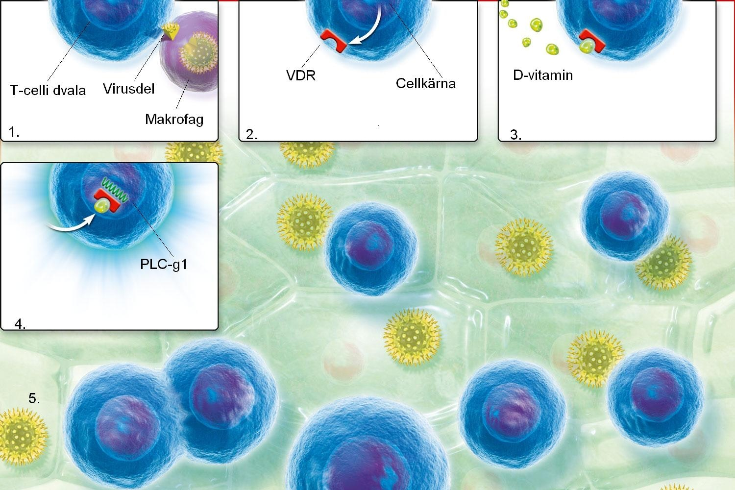 T-cells and vitamin D