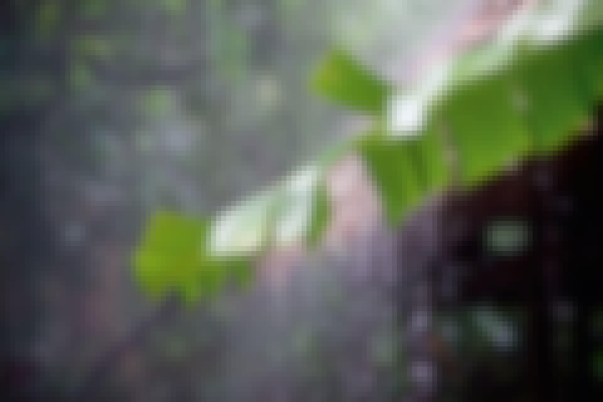 Rain damaging banana leaf