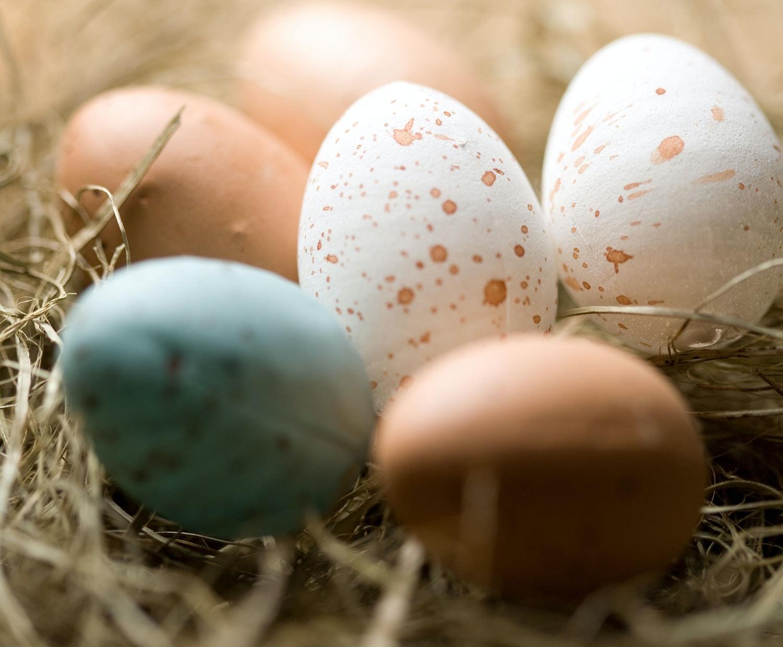 hvorfor lægger høns æg