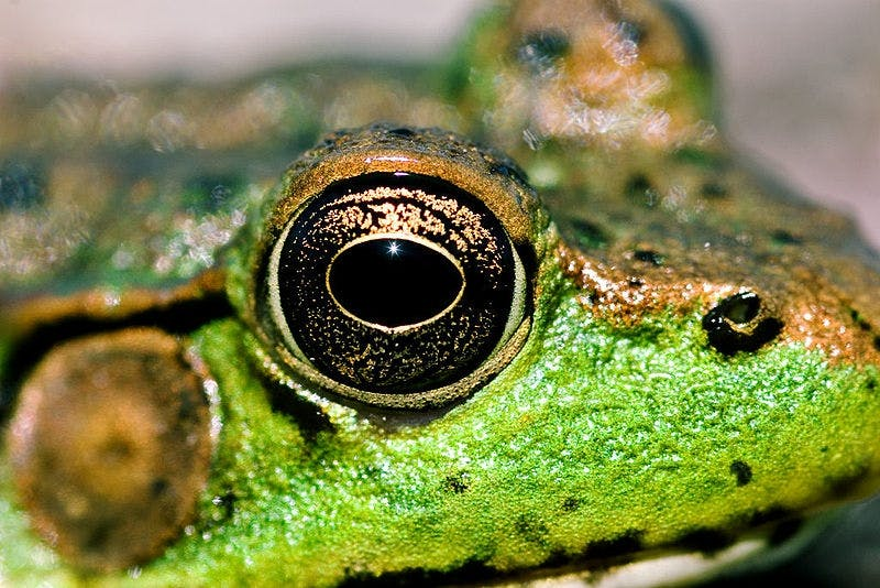Frog brain