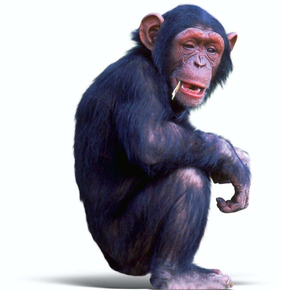 Chimpanse sitting