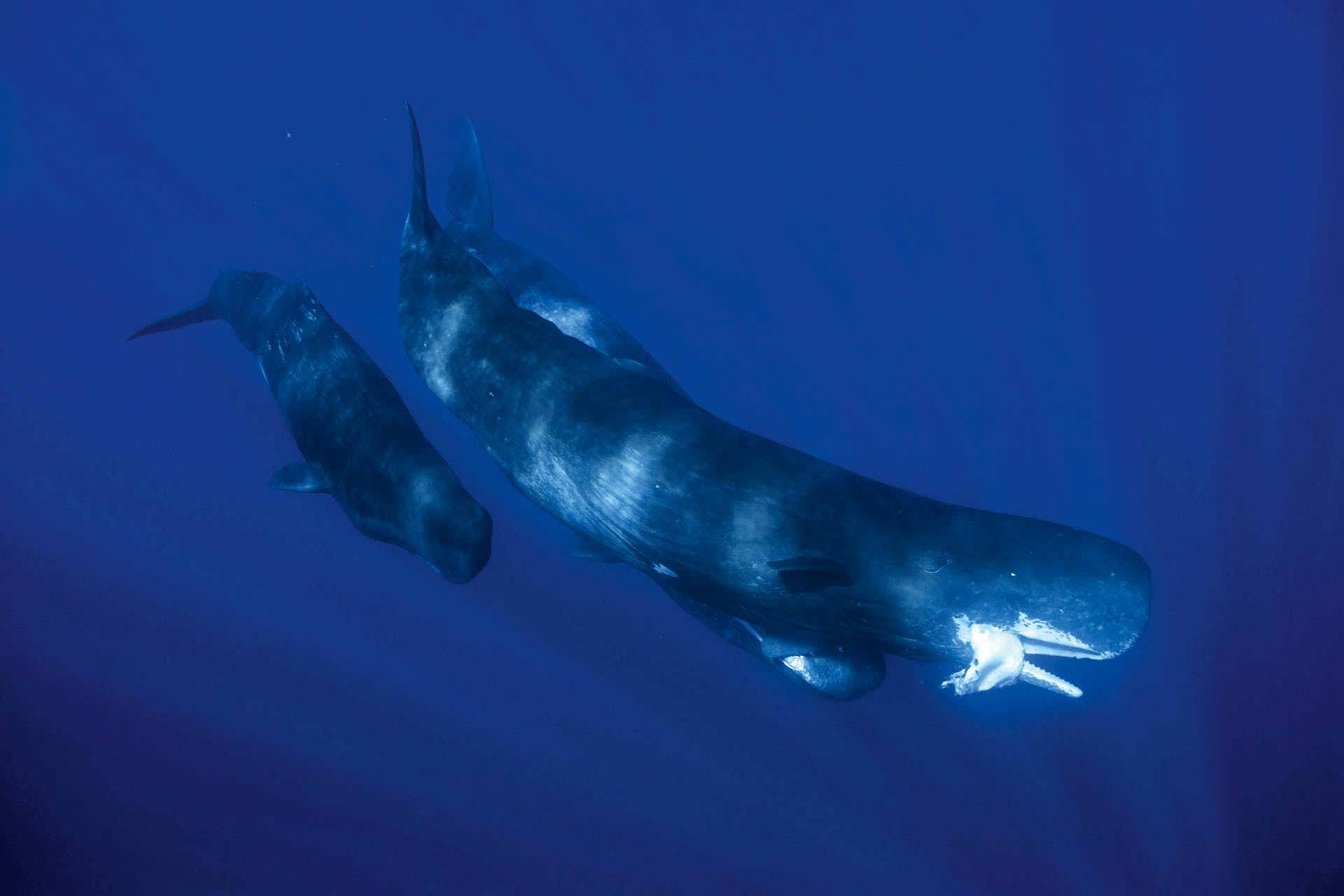 Sperm Whale with squid