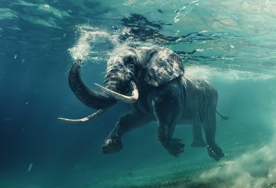 Truede dyrearter - elefant
