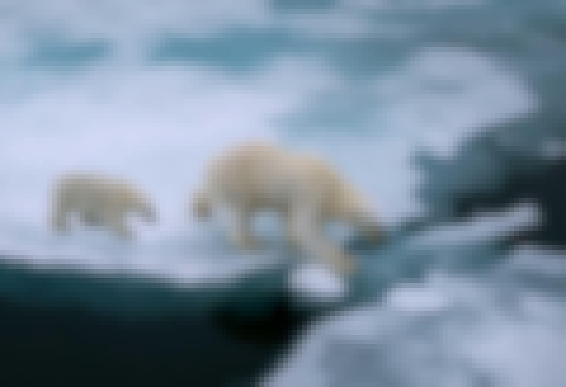 Isbjørne på is - Den globale opvarmning