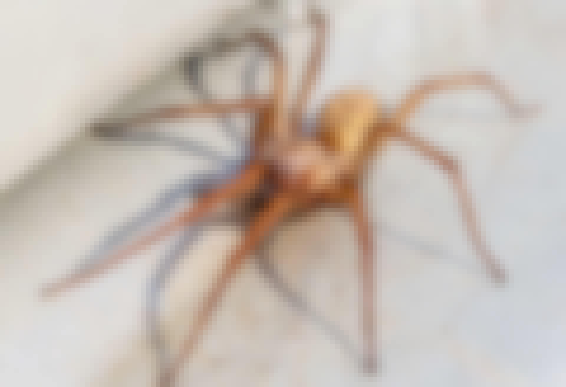 Edderkop