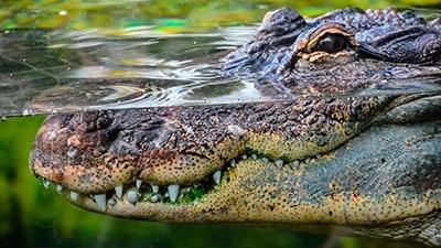 Fiskare dodades av krokodil