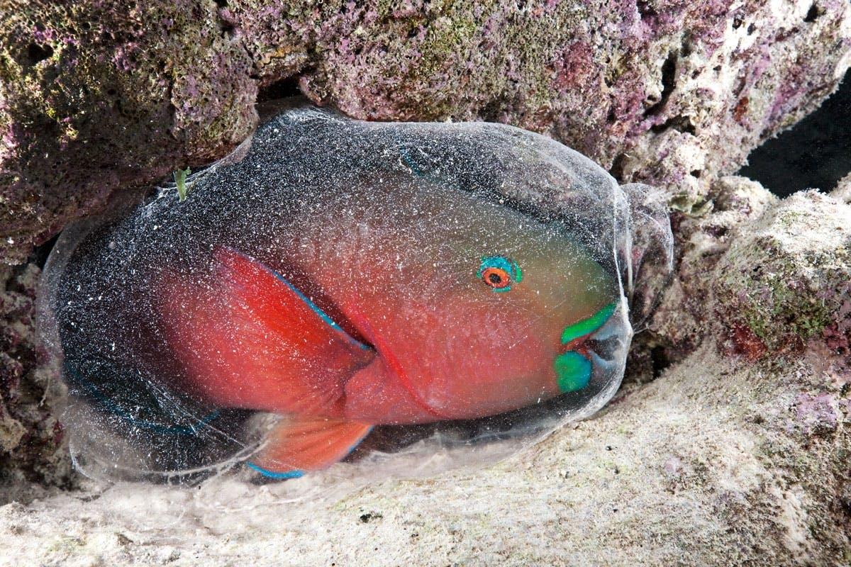 Nukkuvatko kalat papukaijakala