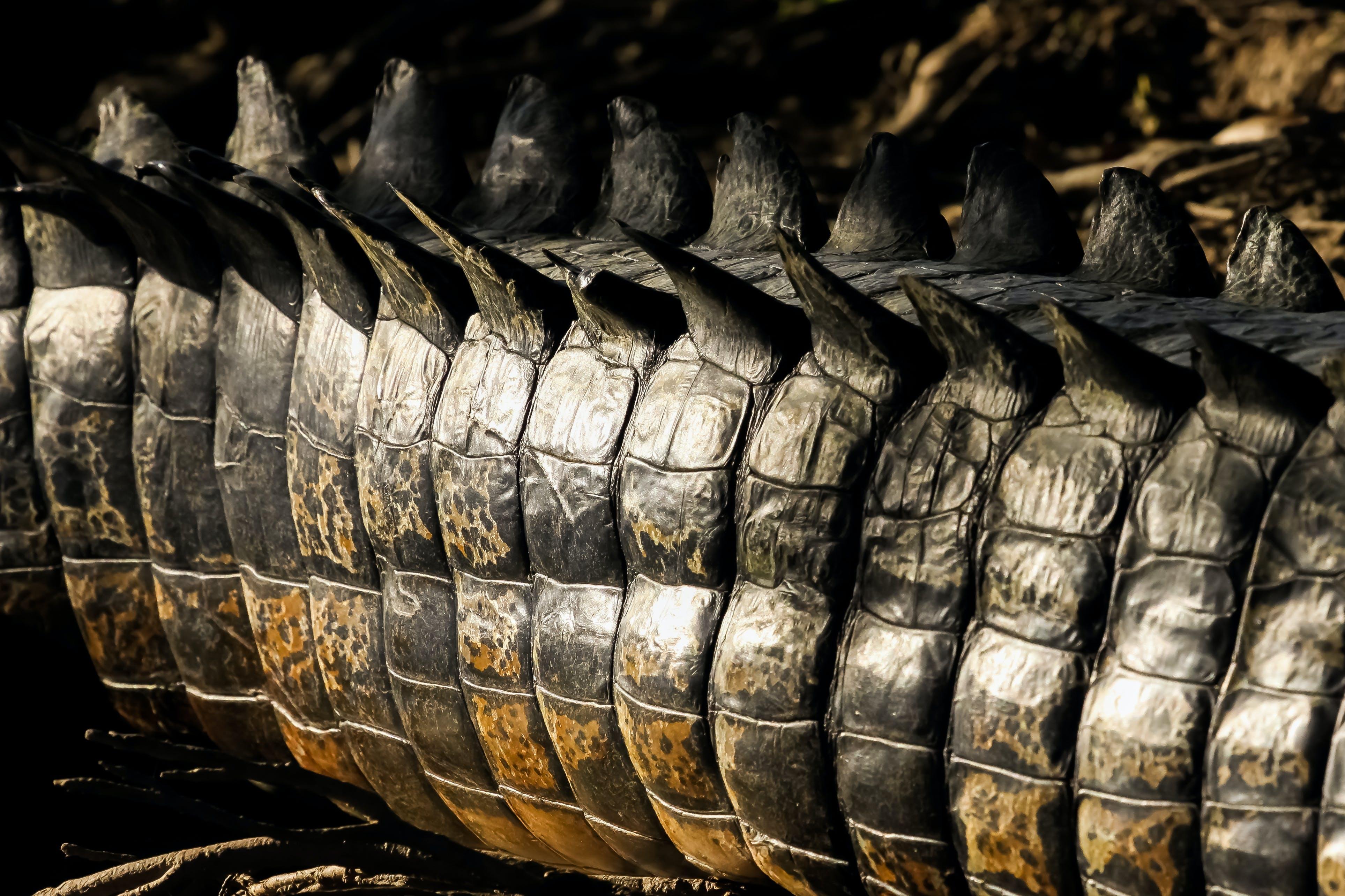 Krokodil heeft de krachtigste kaken