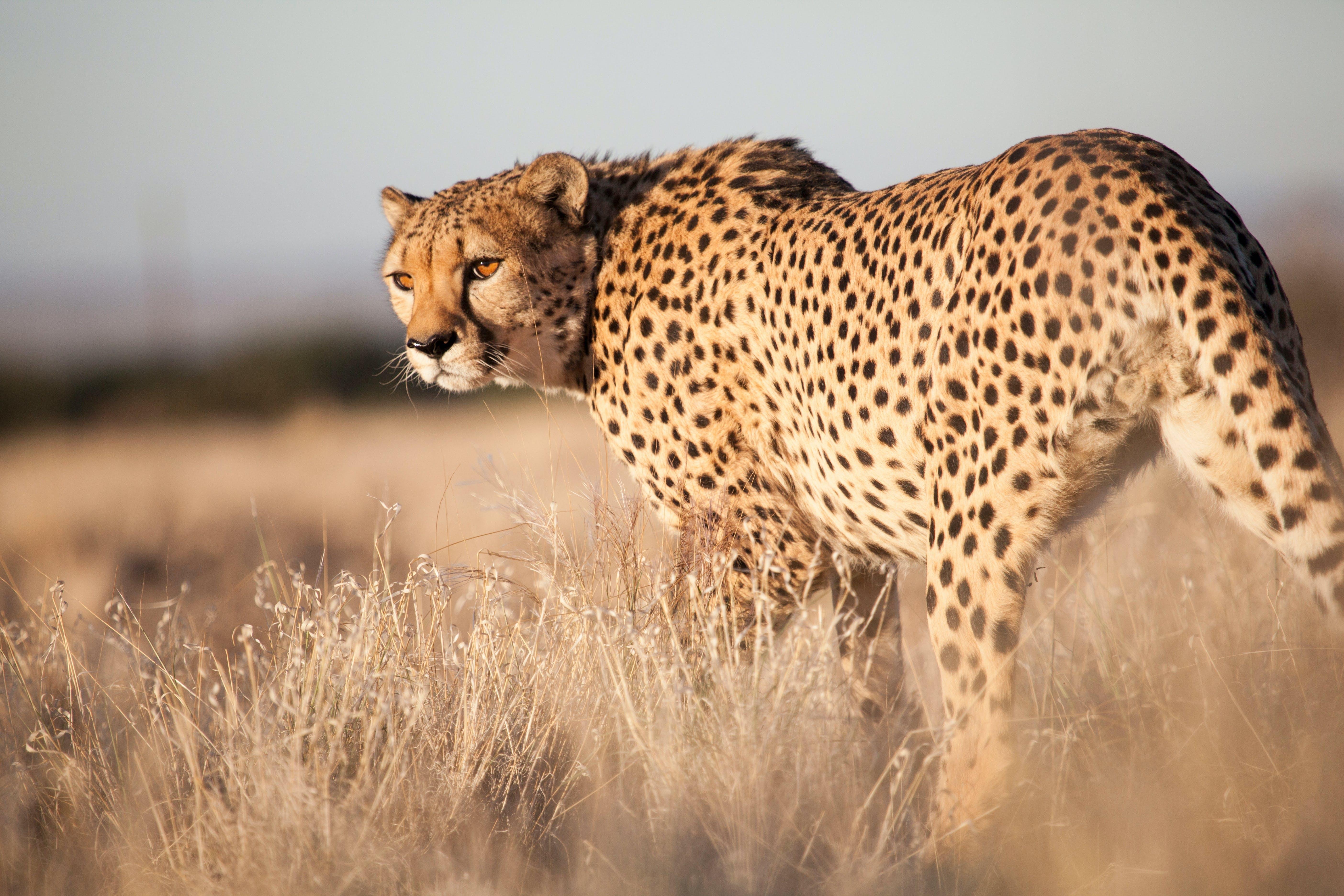 Verdens raskeste dyr på land: gepard