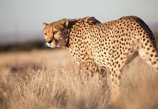 Snelste dier op het land: jachtluipaard