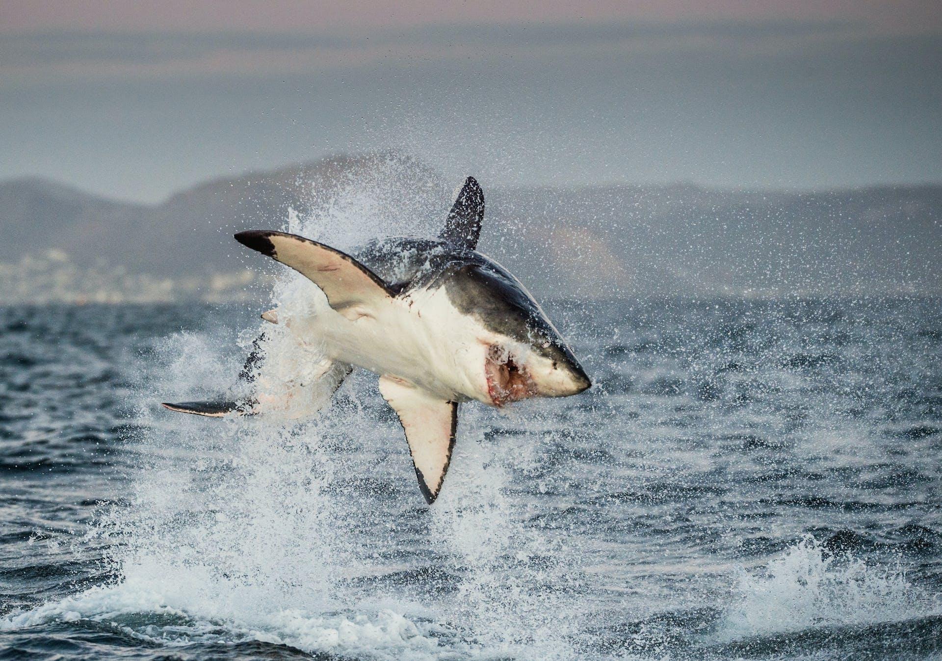 Haj hvidhaj alt om hajer
