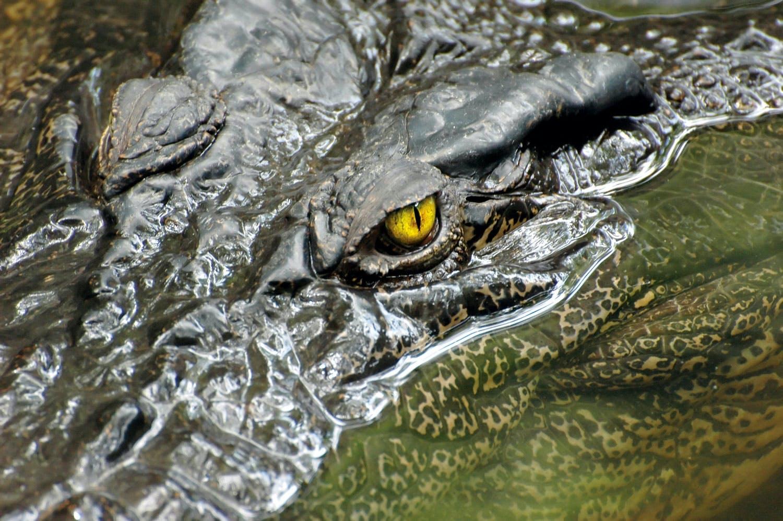 Crocodile close-up