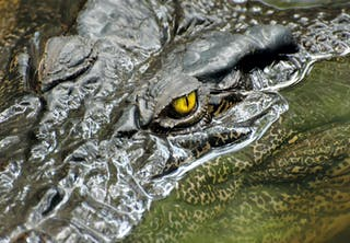 Crocodile close-up