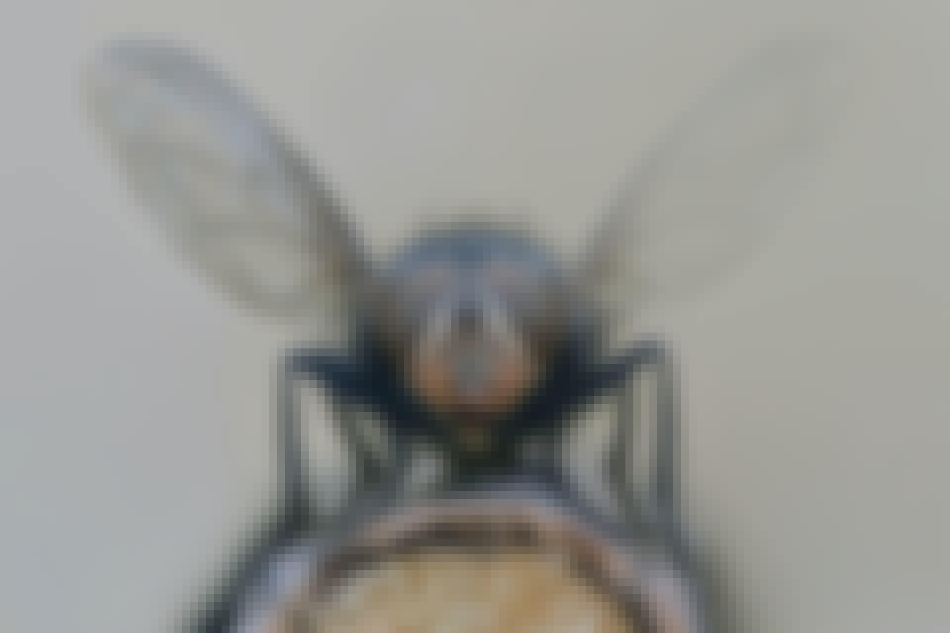 Hyönteinen siivet levällään