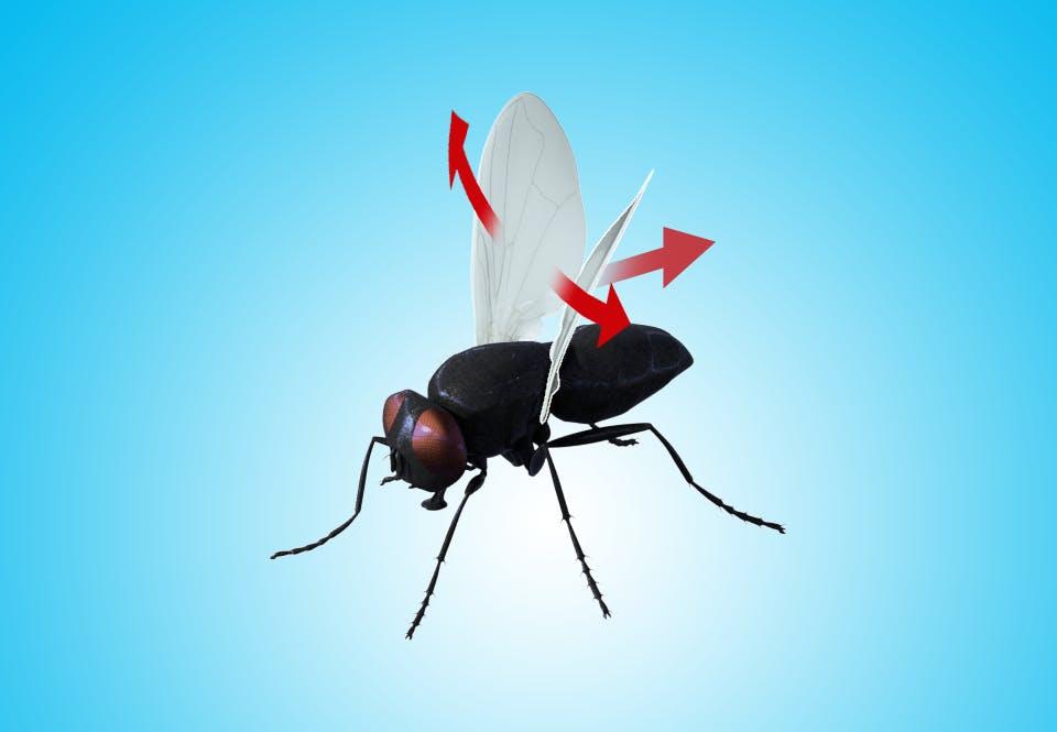 Flue åbner vingerne