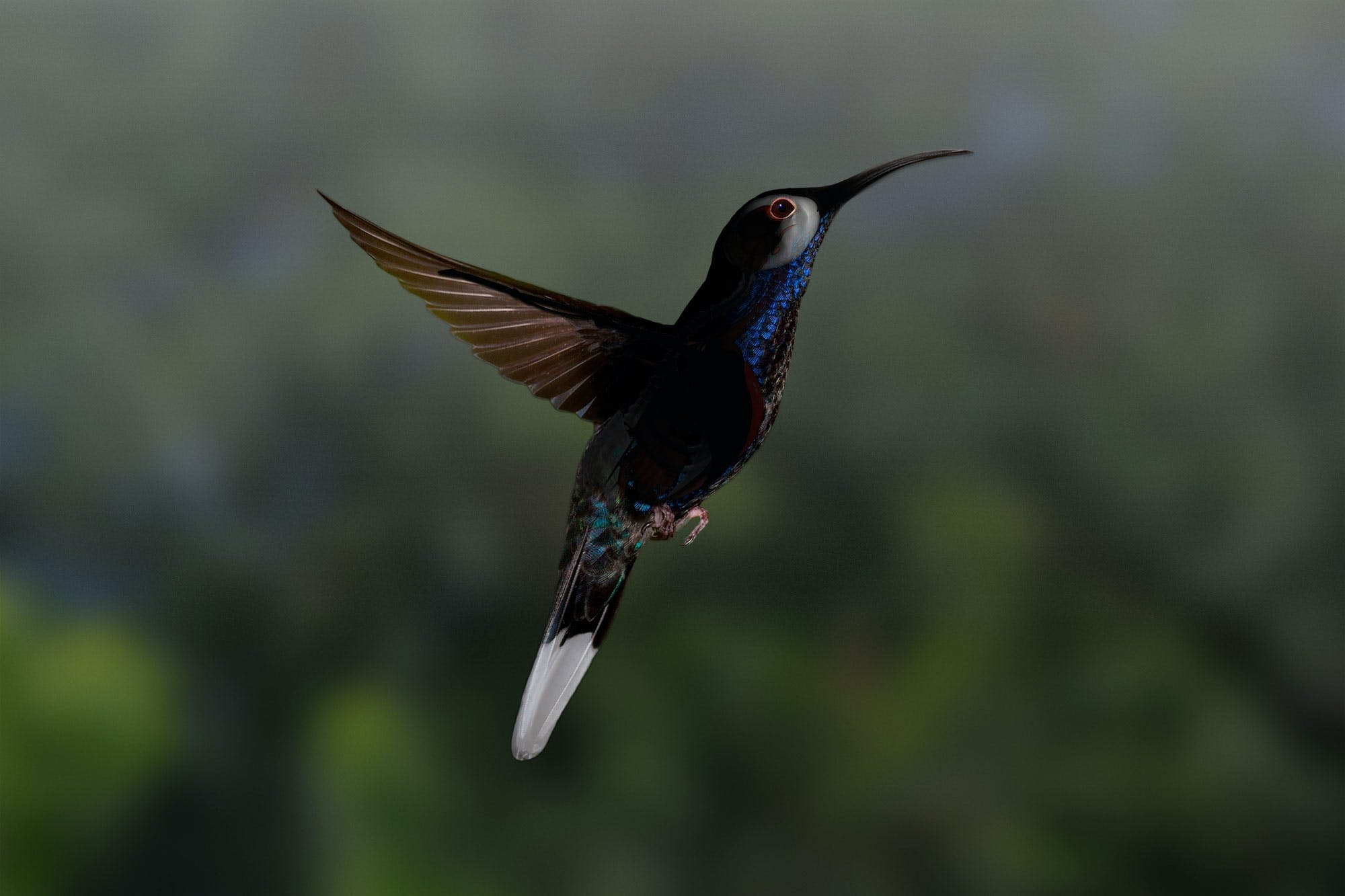 Kolibri øjne