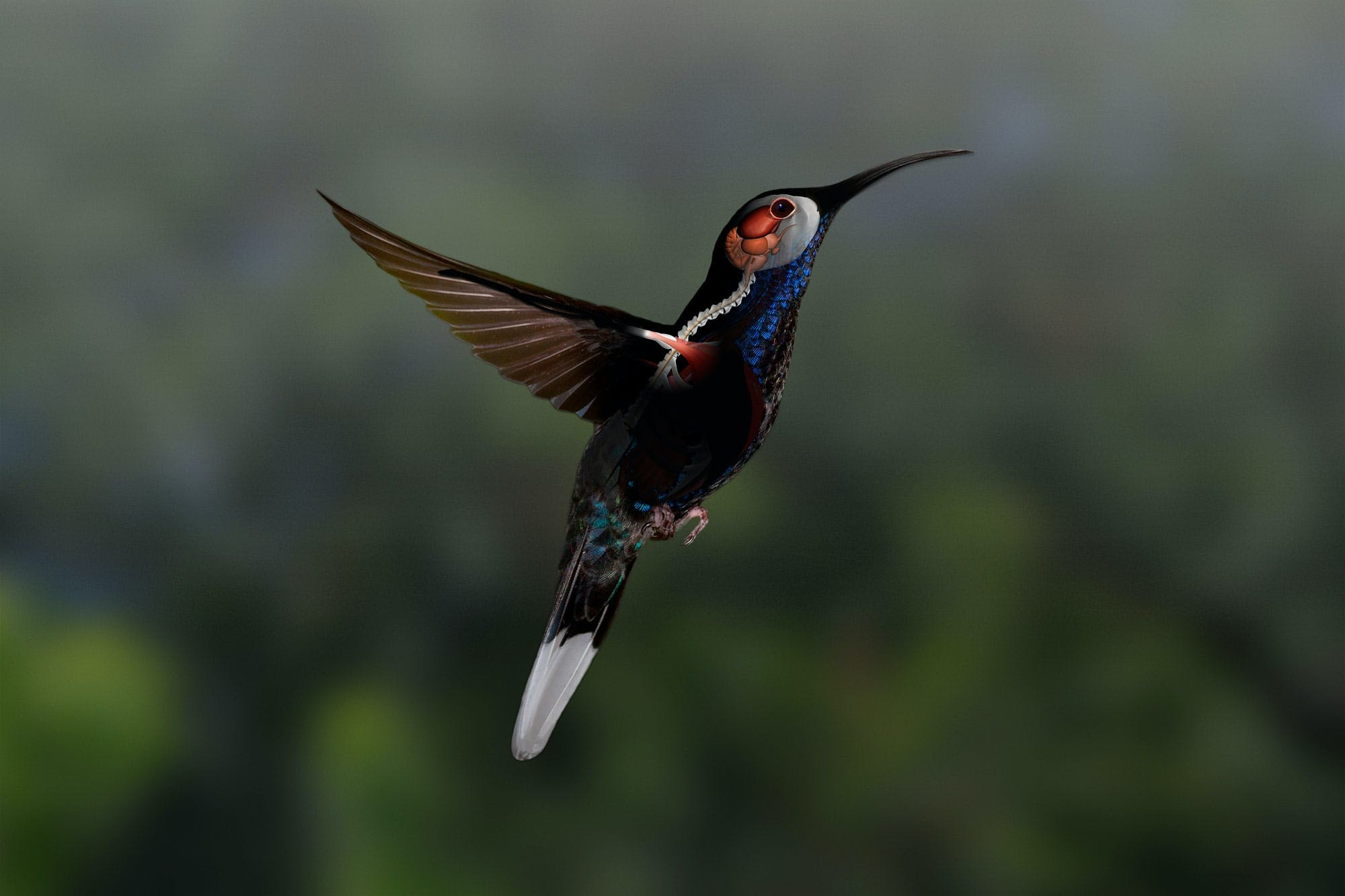 Kolibriens skulderled