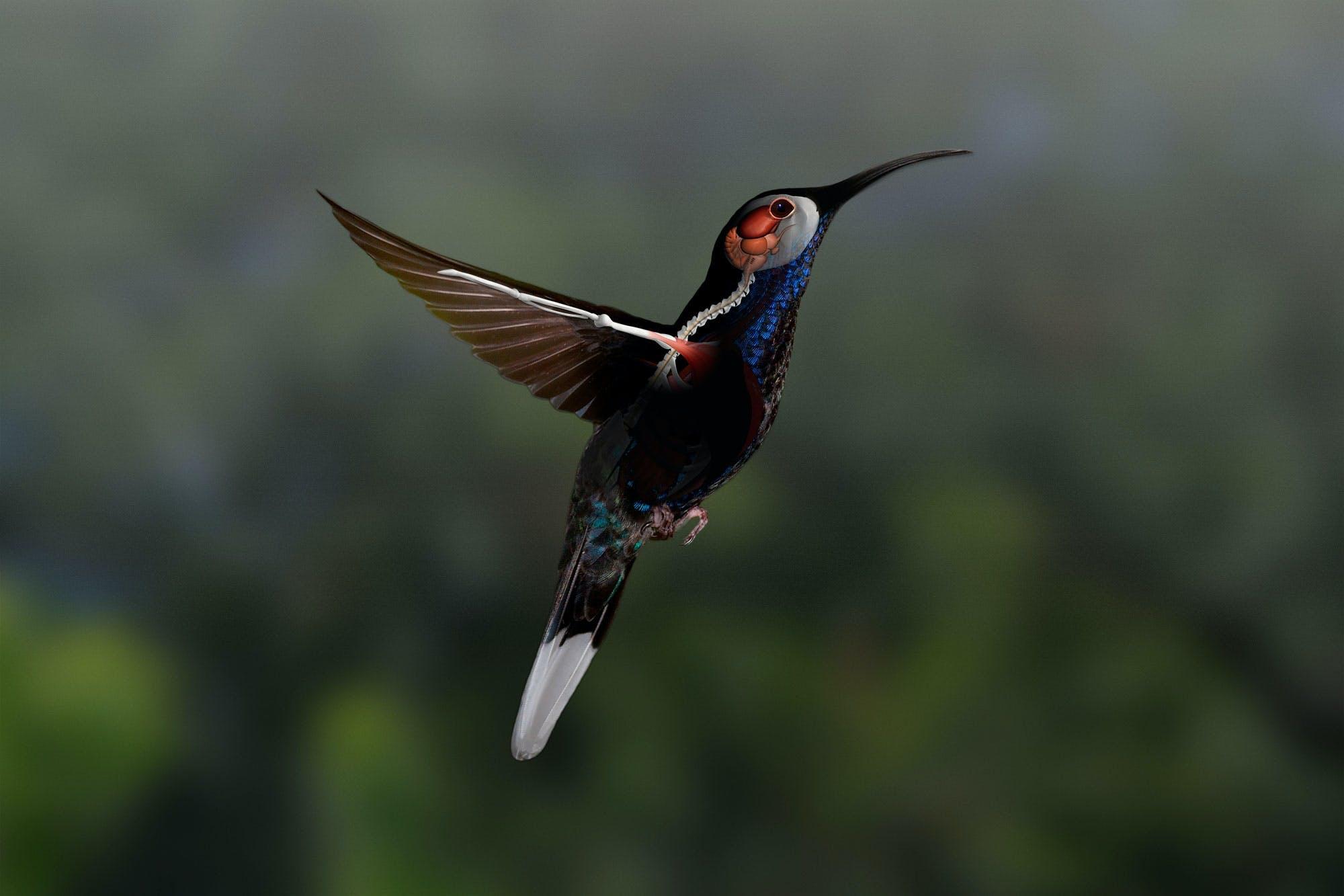 Kolibriens vingefjer