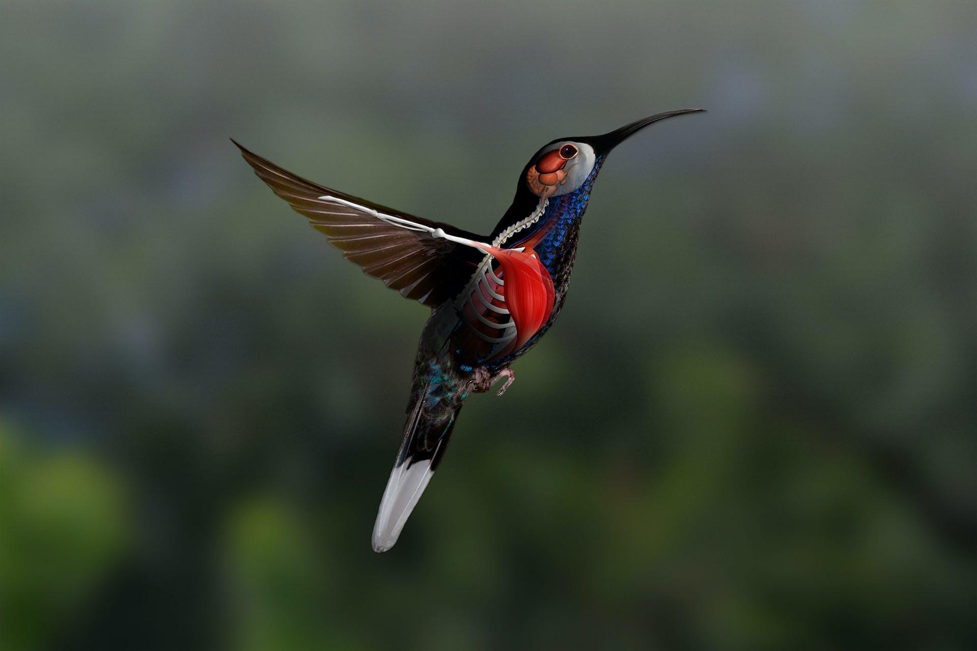 Kolibriens brystmuskler