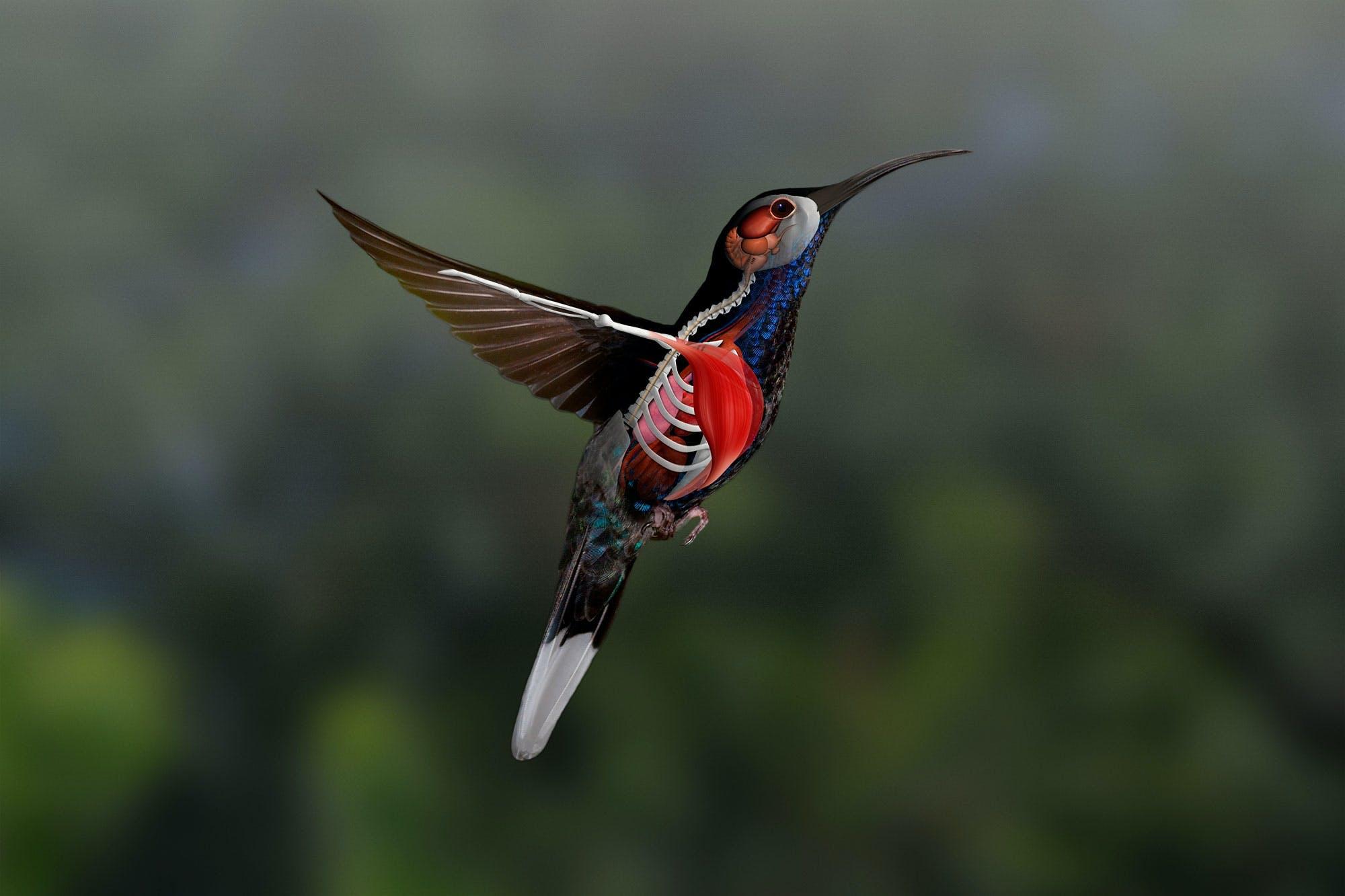 Kolibriens fødder