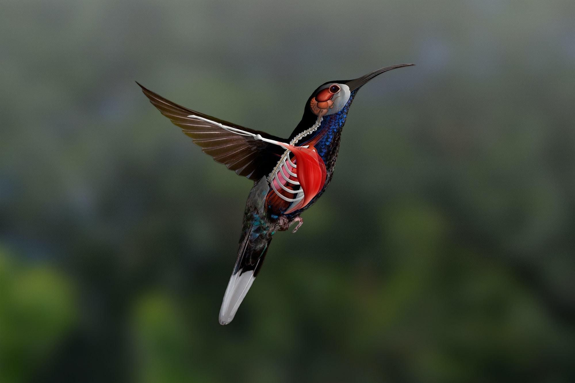 Kolibrins fötter