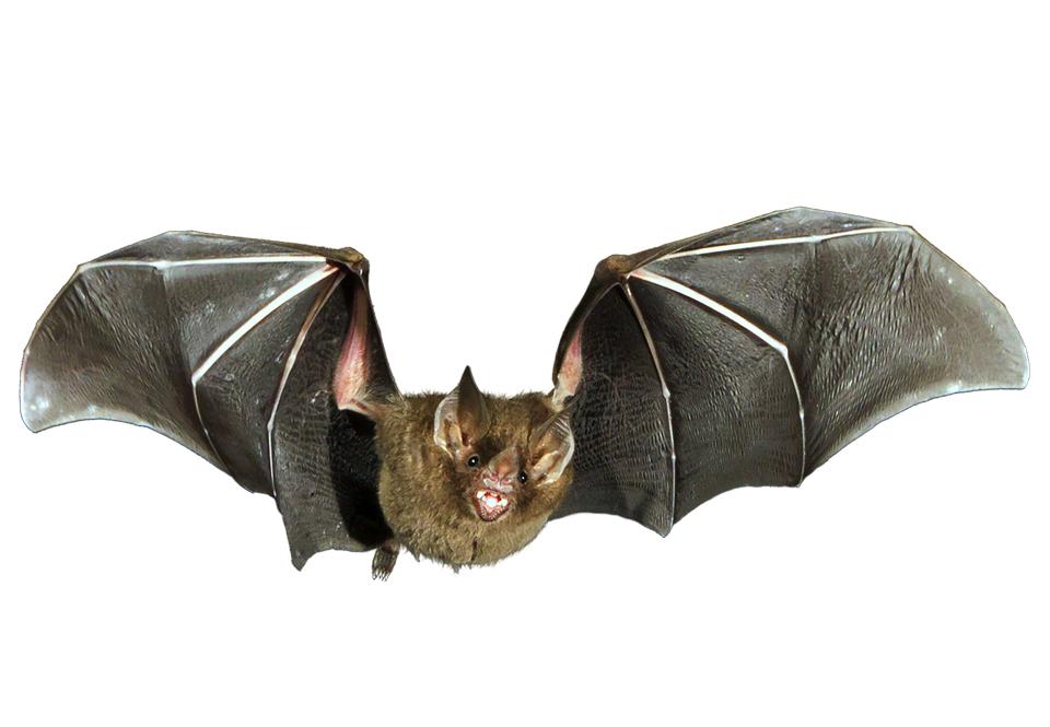 Fladdermöss kan ändra vingens styvhet