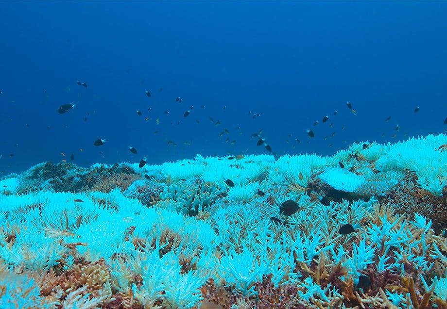 Global opvarmning ødelægger koraller