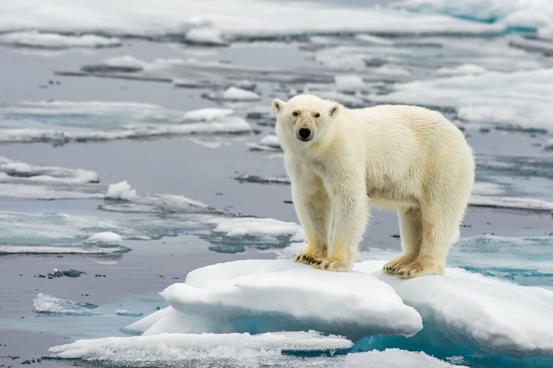Den globale opvarmning - Isbjørn