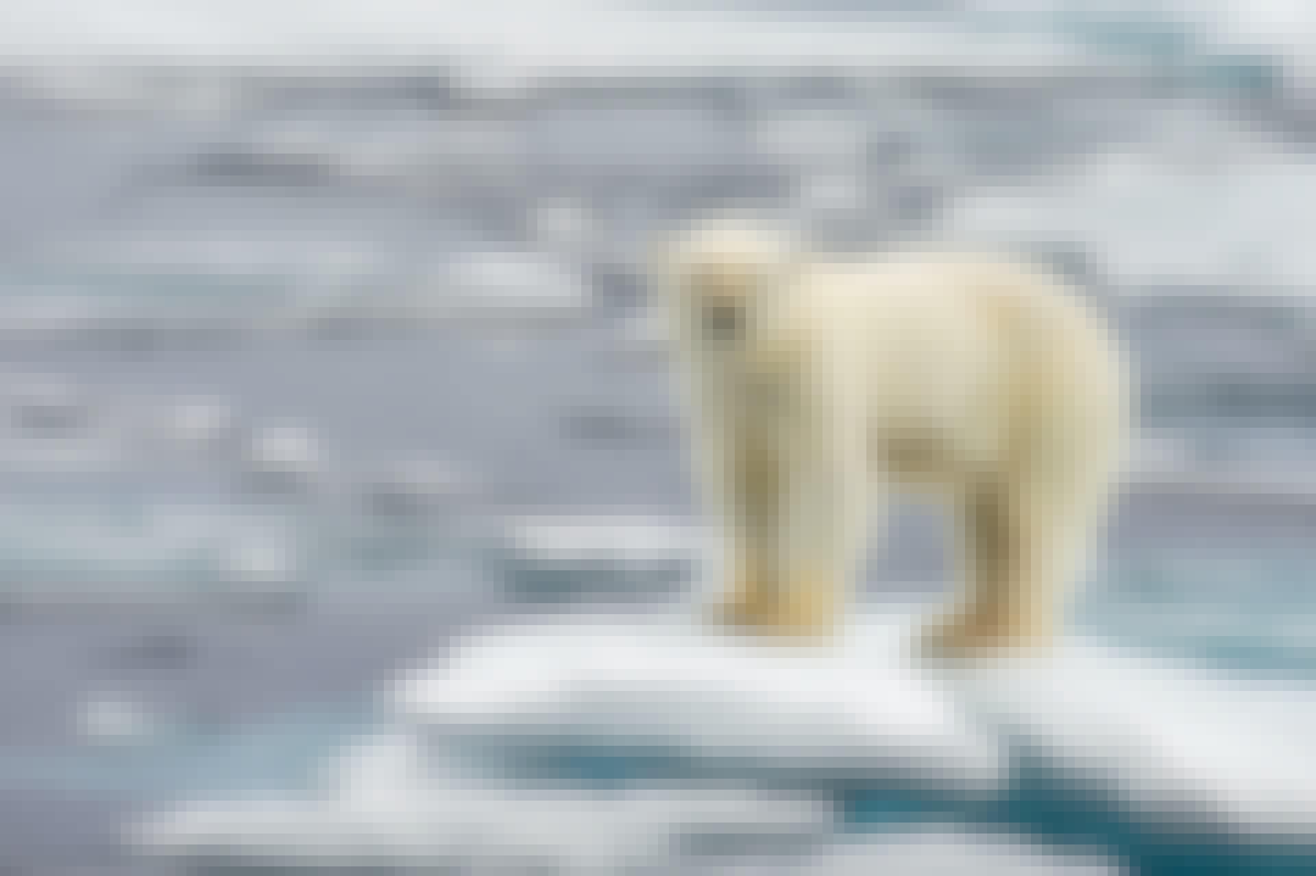 Den globala uppvärmningen - Isbjörn