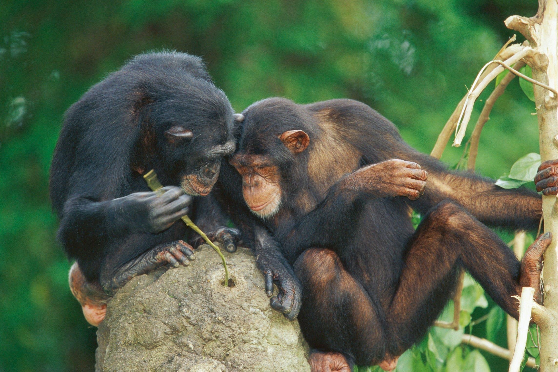 Chimpanser