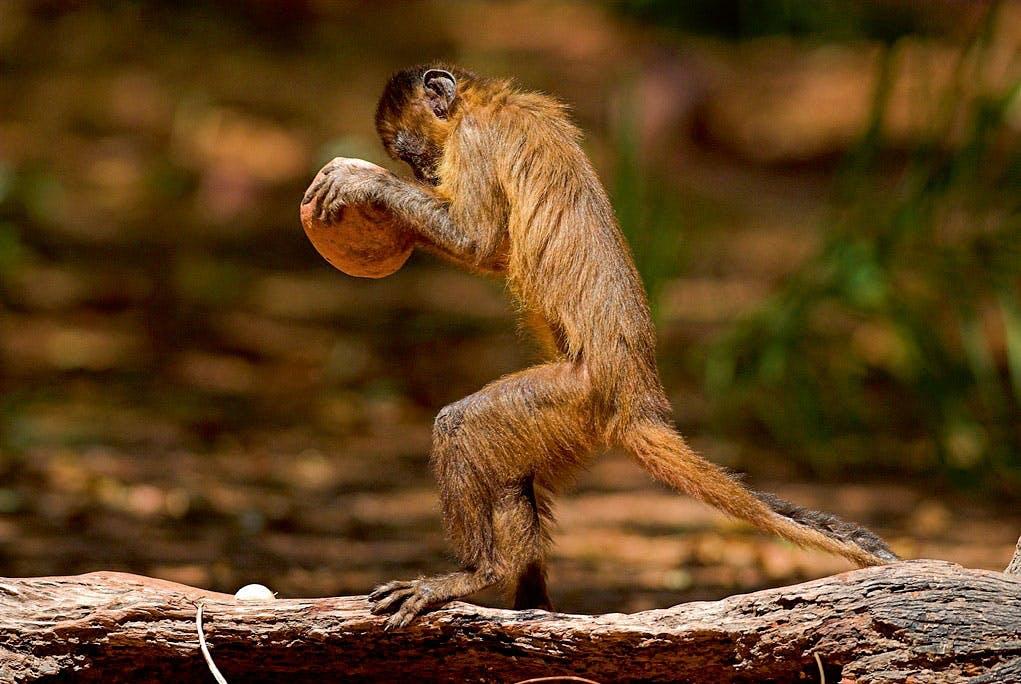 Capuchin-abe