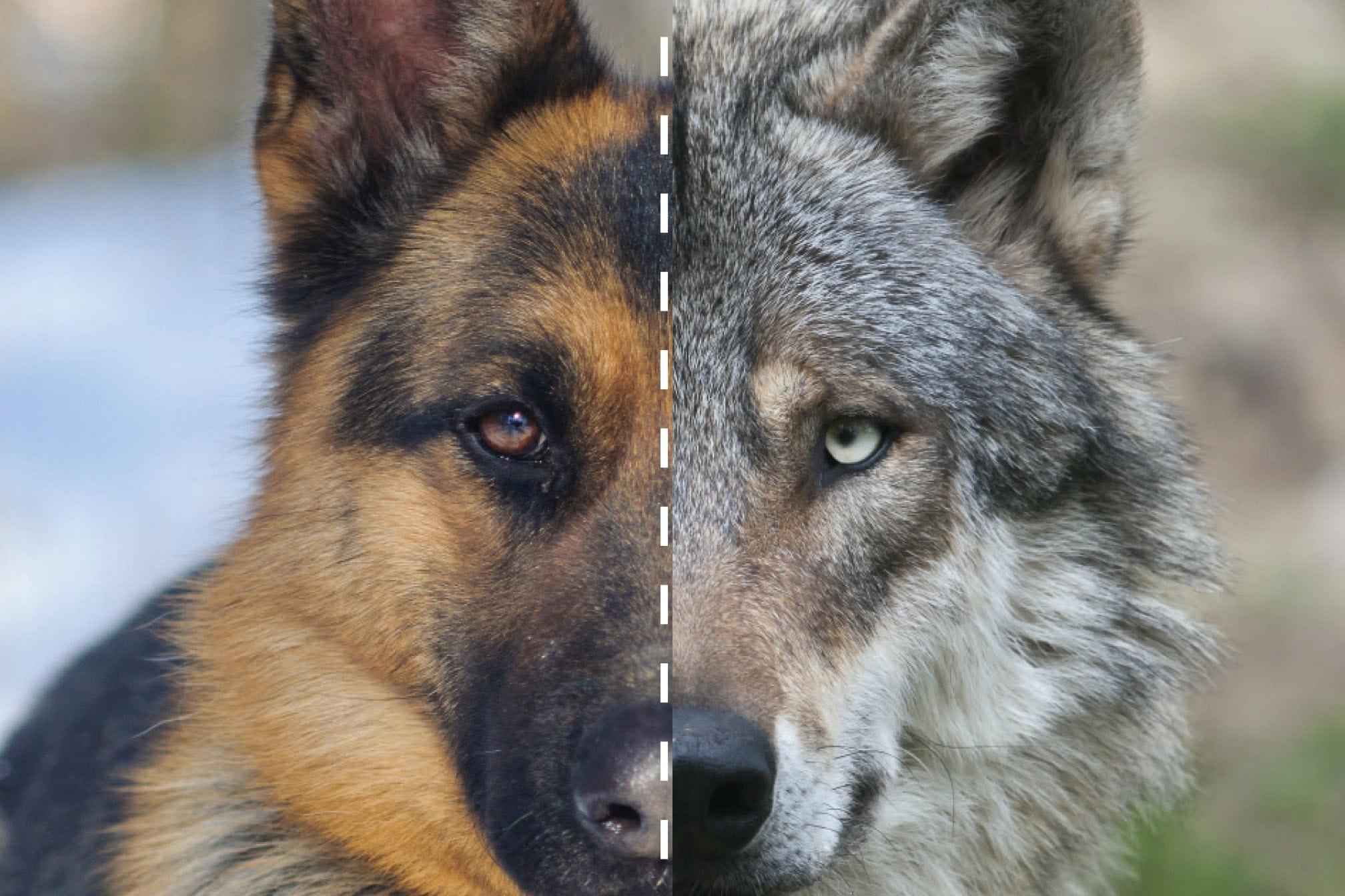 Hund Som Ligner På Ulv