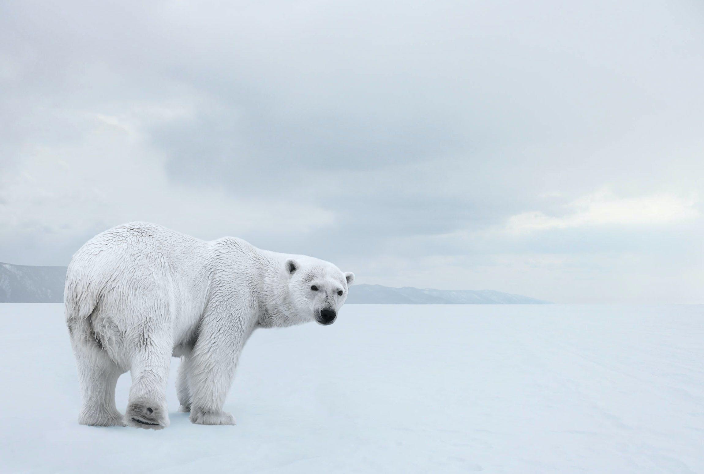 Klimaforandring isbjørn